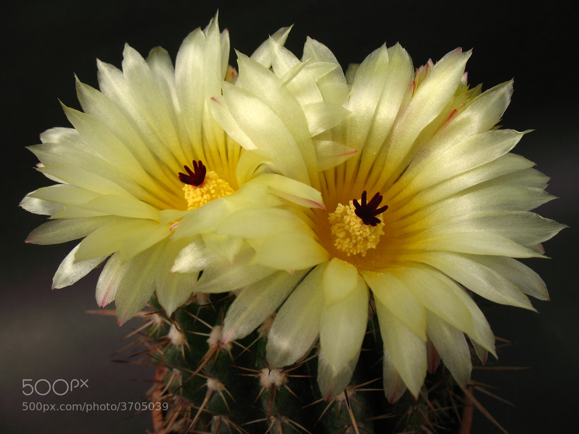 Photograph Cactus flower by ali kangal on 500px