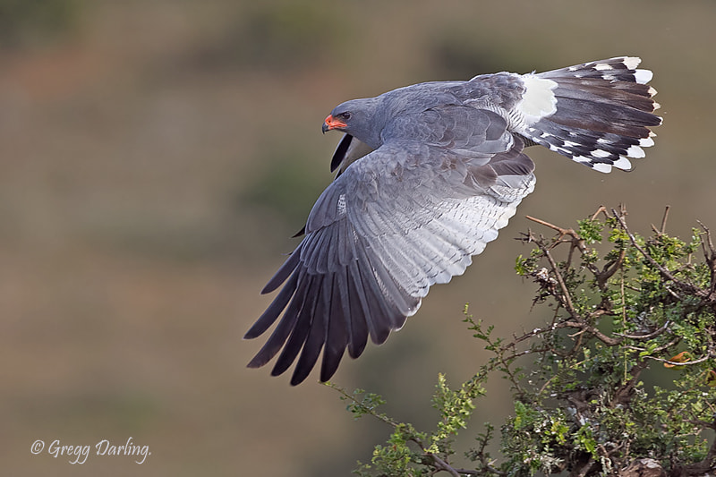 Photograph Southern Pale Chanting Goshawk by Gregg Darling on 500px