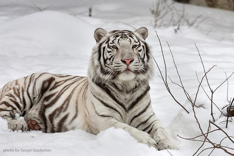 Snow White Bengal Tiger