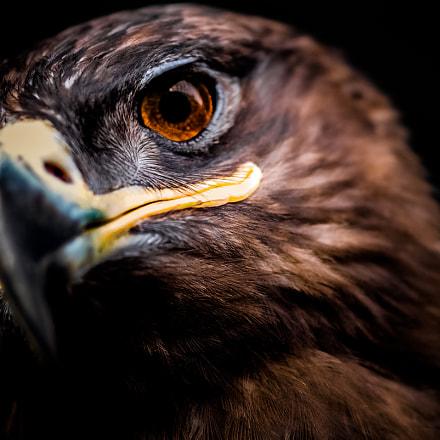 Brown falcon (Falco berigora), Victoria, Australia.