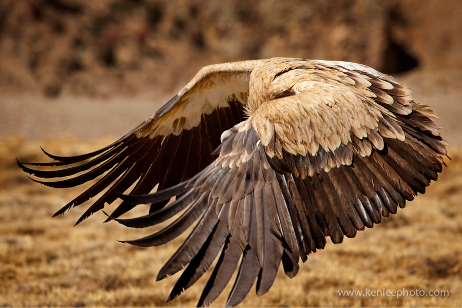 Photograph Raptor Wings by Ken Lee on 500px