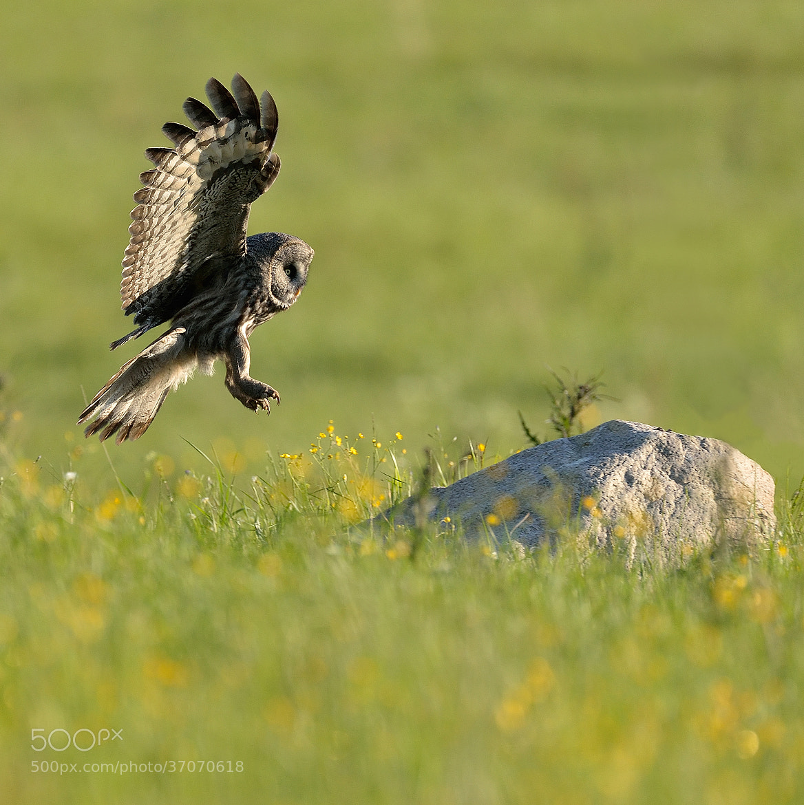 Photograph Great Grey Owl by Ronnie Bergström on 500px