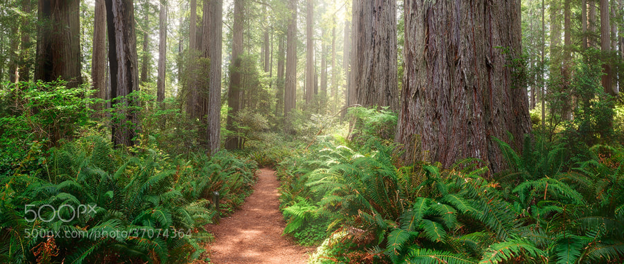 Photograph Redwoods Magic by Michael  Breitung on 500px