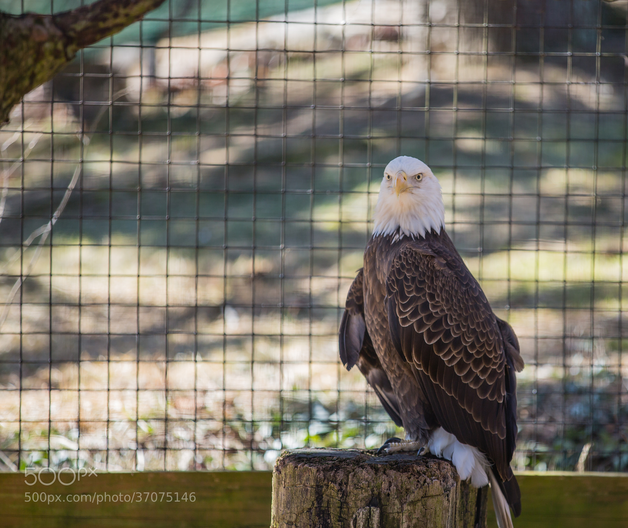 Photograph Bald Eagle (Haliaeetus leucocephalus) by Scott Nelson on 500px