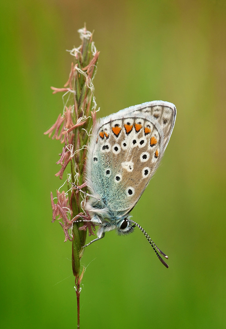 Photograph Common Blue by Gary Howells on 500px