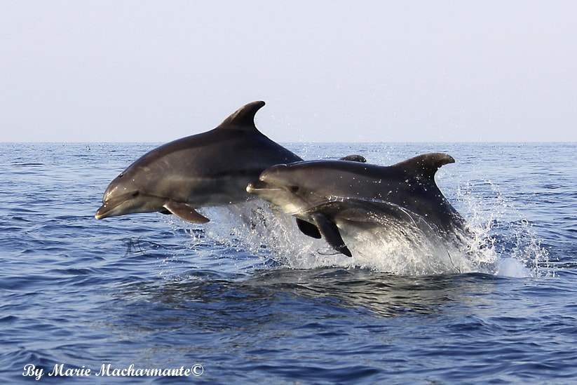 Photograph Dolphins by Marie Macharmante on 500px