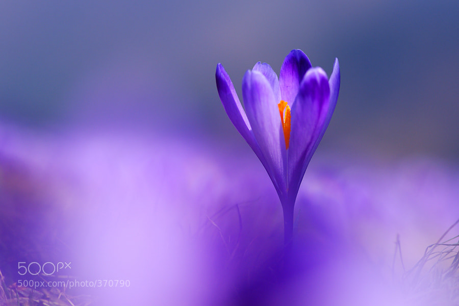 Photograph Purple by Janez Tolar on 500px