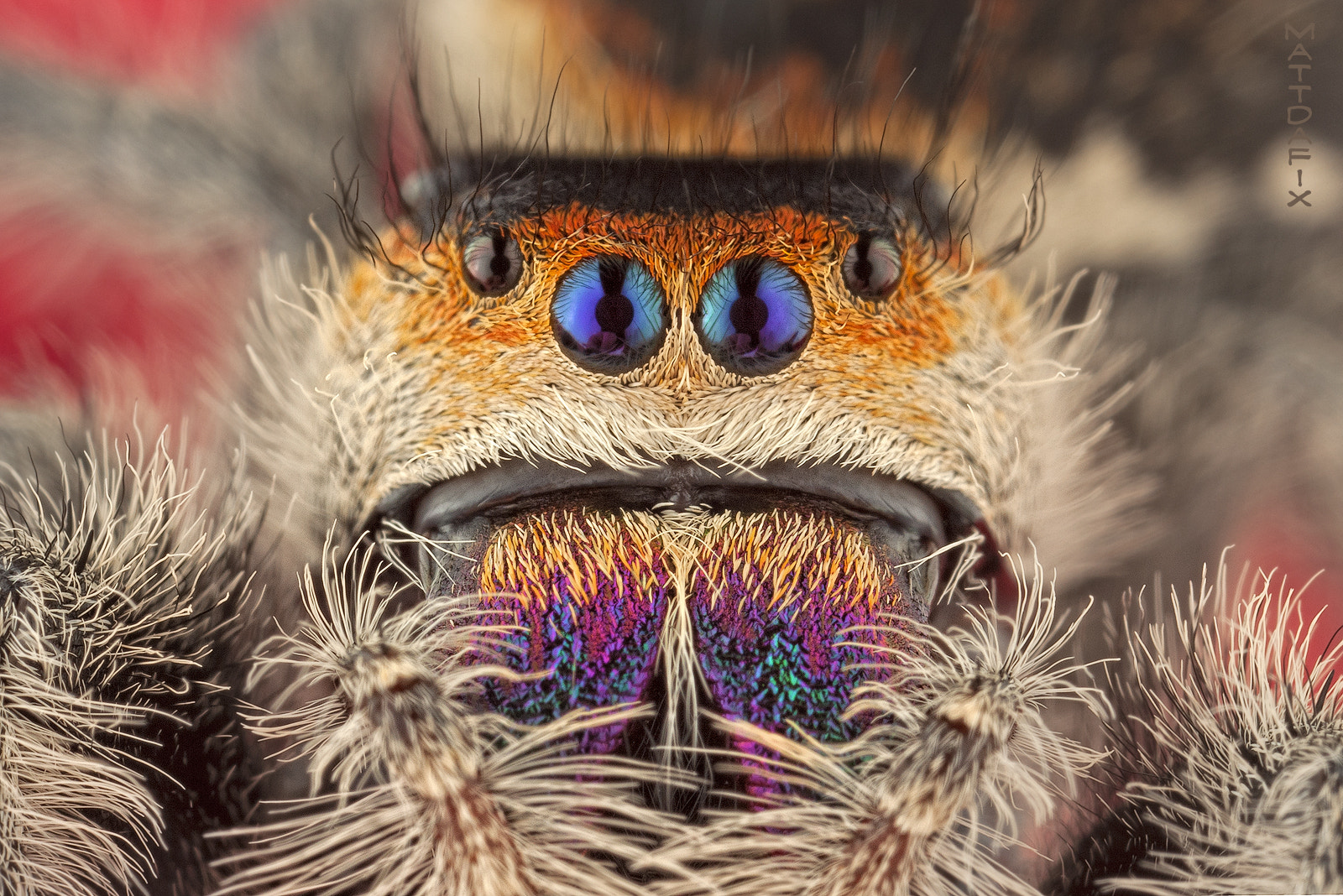 Photograph Regal Jumping Spider by Mateusz Znamierowski on 500px