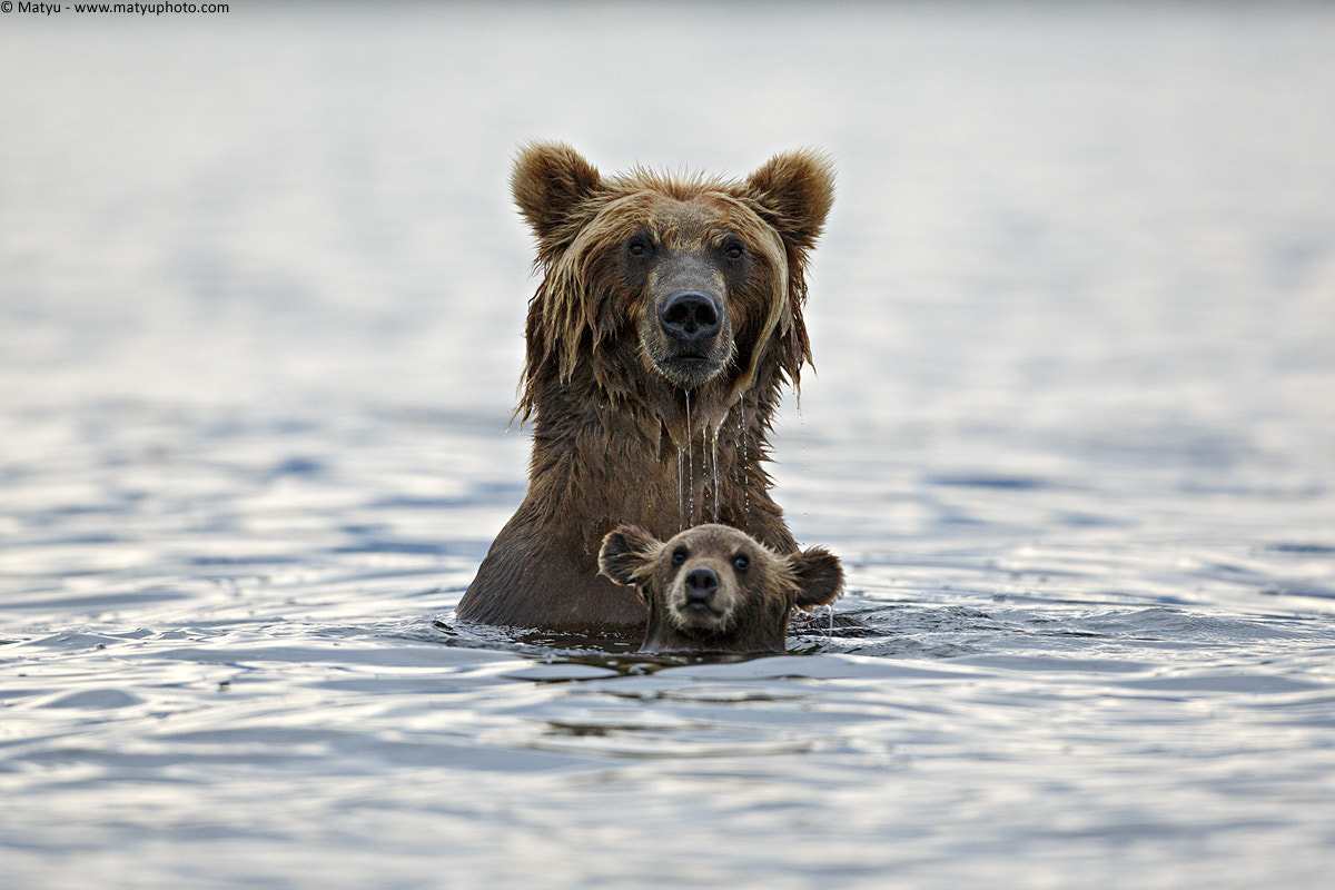 Photograph Grizzly in deep water by Marco Mattiussi on 500px