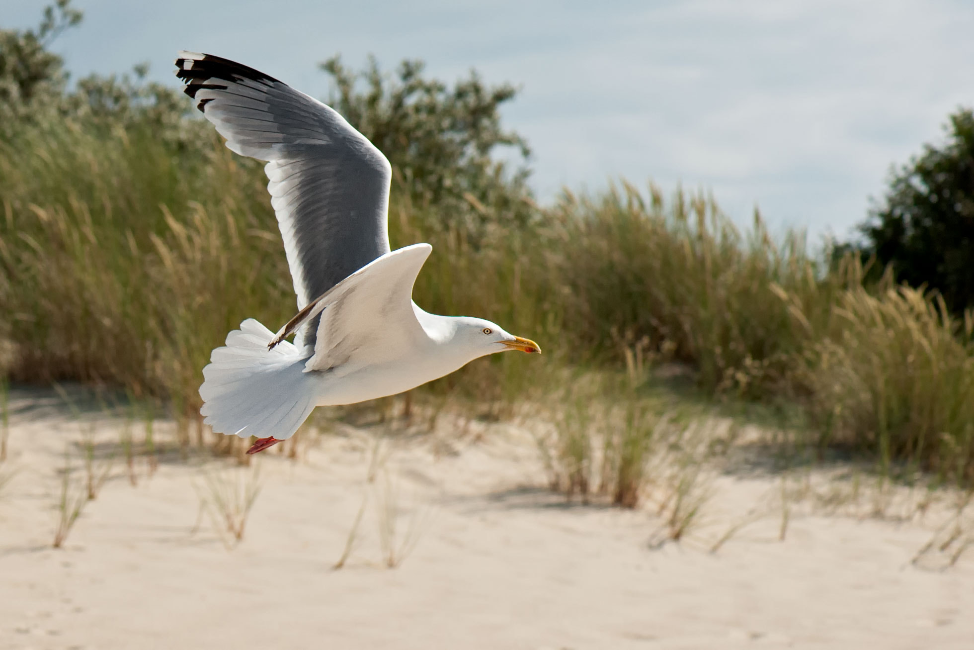 Photograph Fliegende Möwe am Strand | Flying seagull on the beach by Franz Engels on 500px