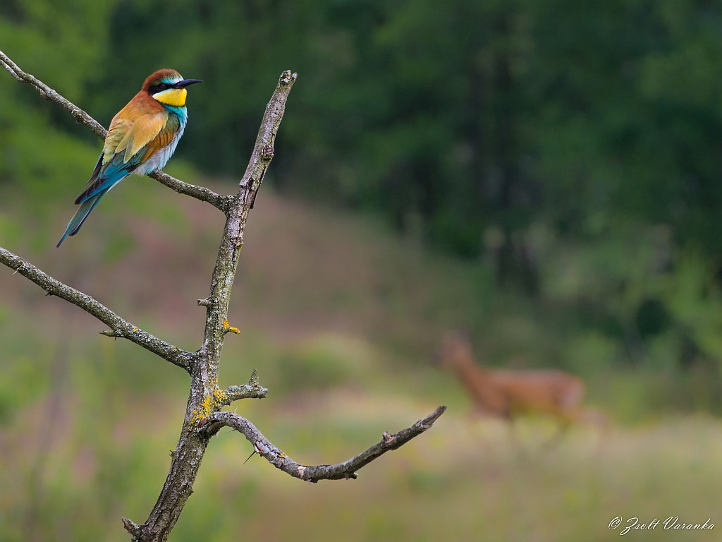 Photograph ...beyond the bee eater... by Zsolt Varanka on 500px