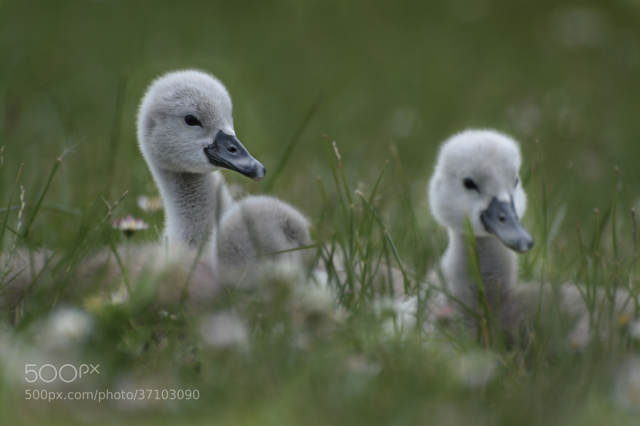 Photograph Baby Swan by Stojak Nikola on 500px