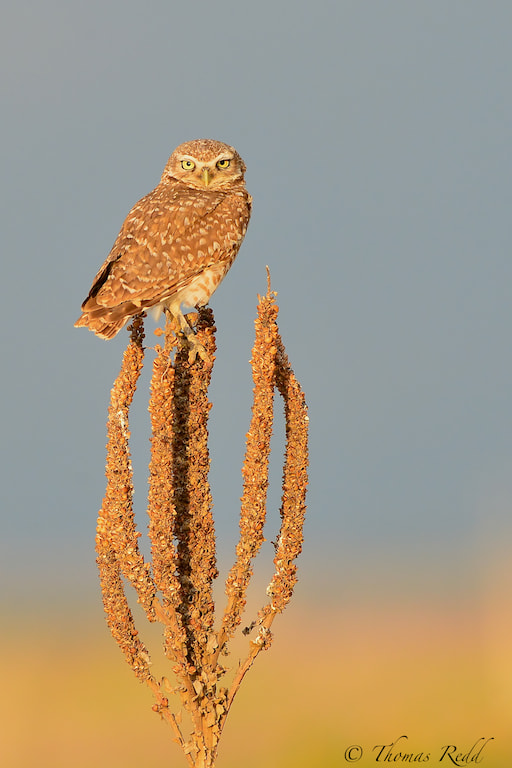 Photograph Burrowing Owl by Tom Redd on 500px