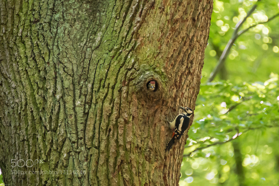 woodpecker, seen in Volksdorf, Hamburg.