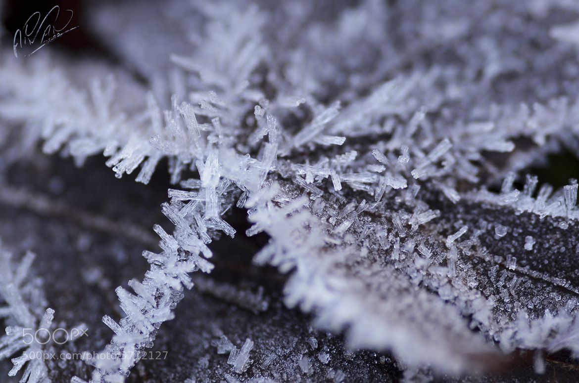 Photograph Frost on a Maple Leaf by Aiman Turkistani on 500px