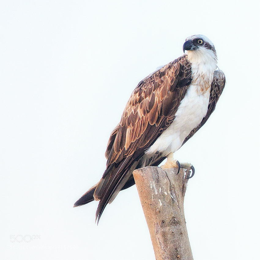 Photograph Egyptian Eagle by Ahmed Abdulazim on 500px