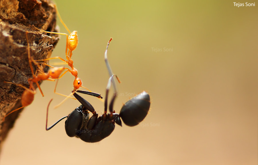 Photograph weaver ant by Tejas Soni on 500px