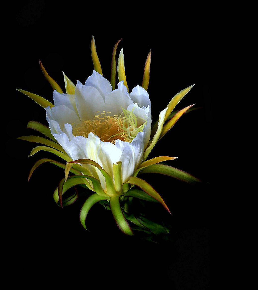 Photograph Dragon Fruit Flower  by Guy HIGHLANDER on 500px