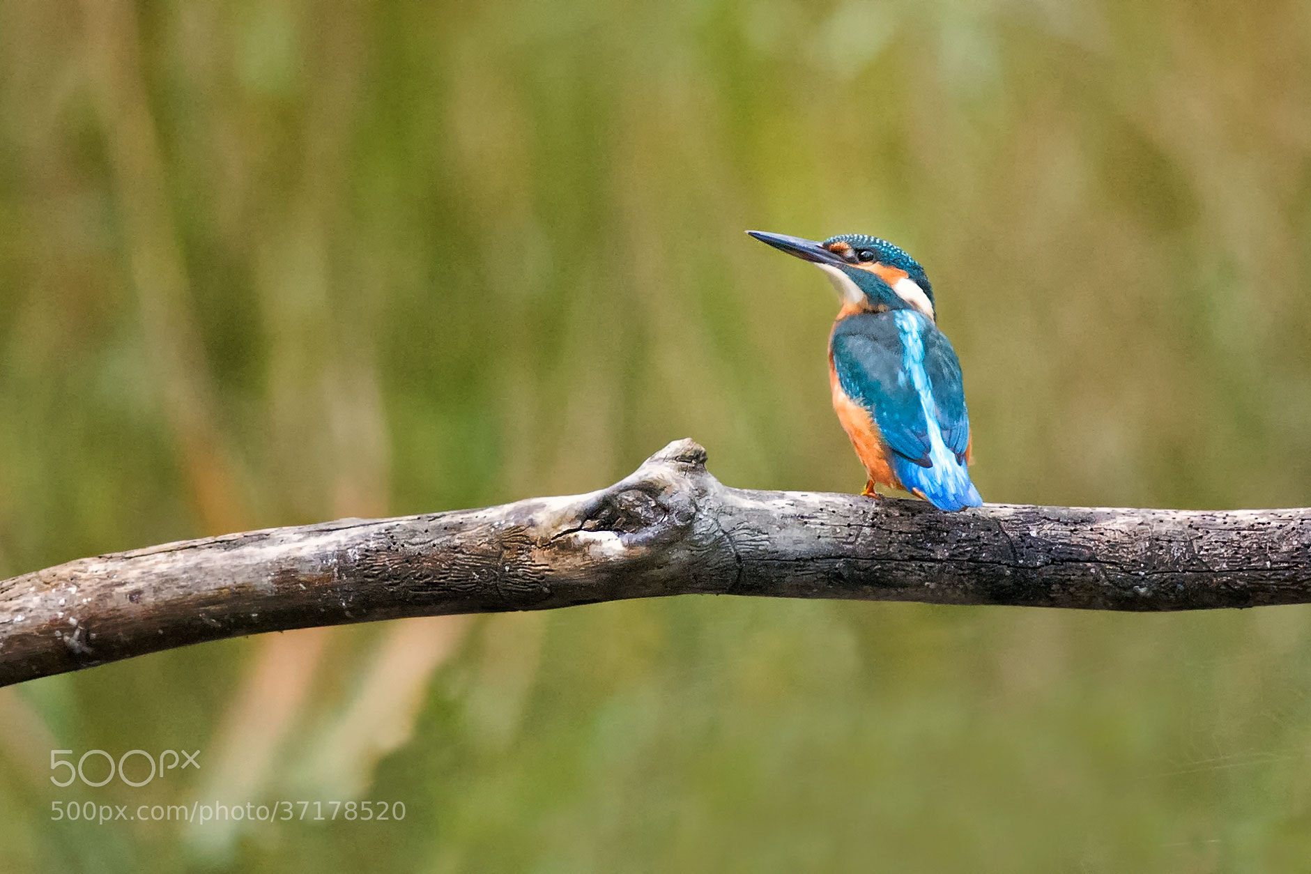 Photograph Eisvogel | Kingsfisher (1) by Franz Engels on 500px