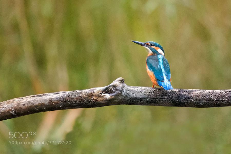 Eisvogel | Kingsfisher (1)
