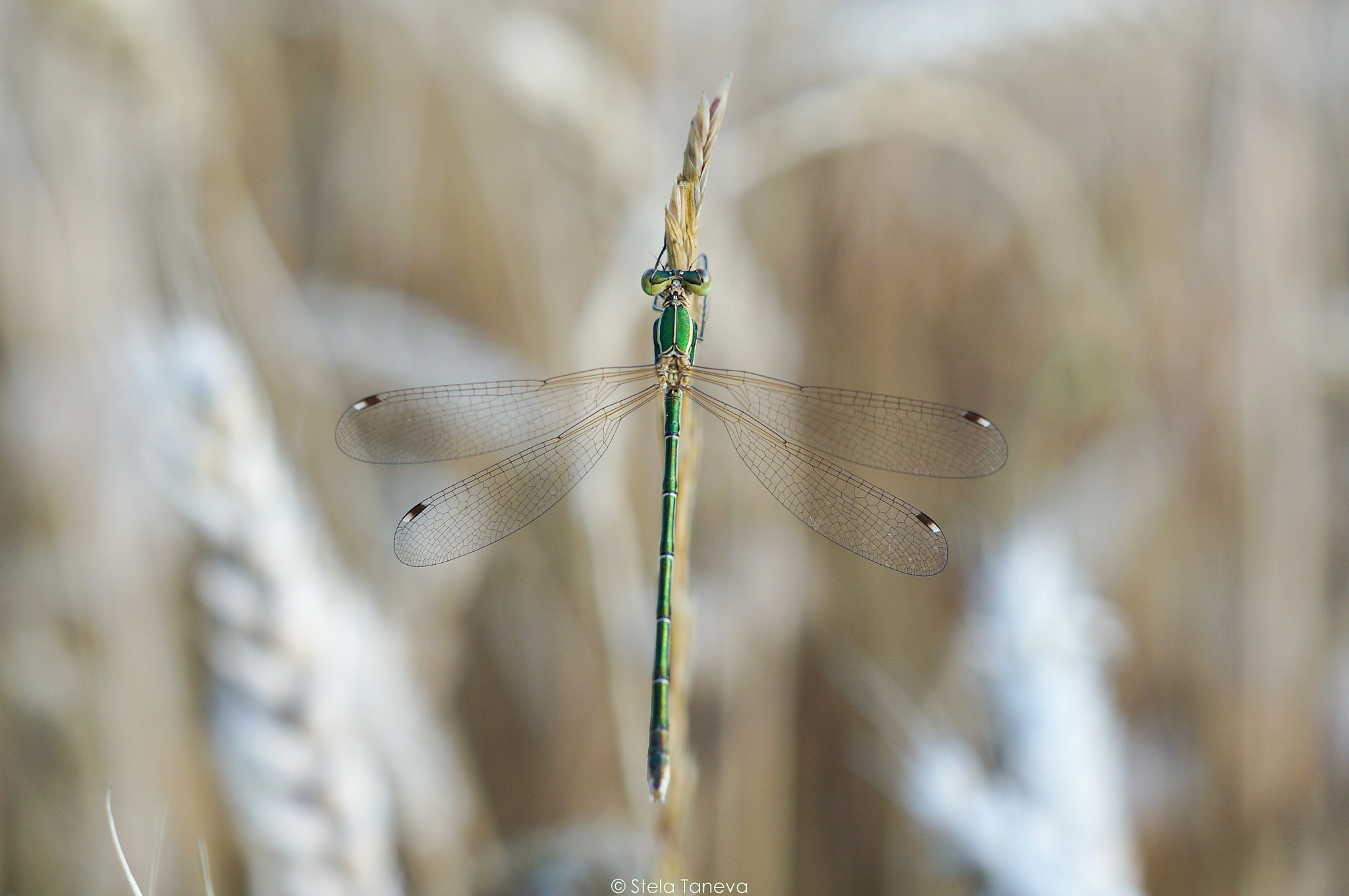 Photograph Dragonfly by Stela Taneva on 500px