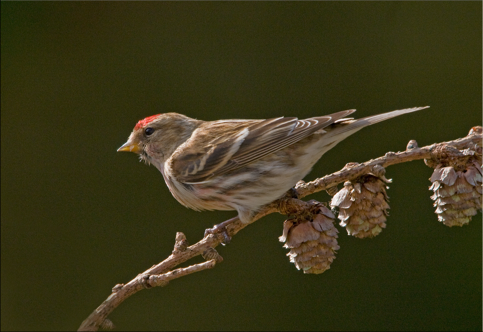 Photograph Redpoll by Ina Turner on 500px