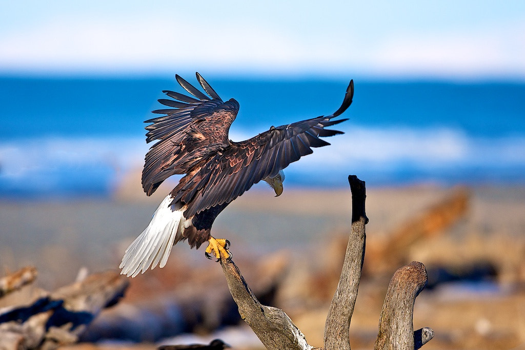 Photograph Eagle Has Landed by Buck Shreck on 500px