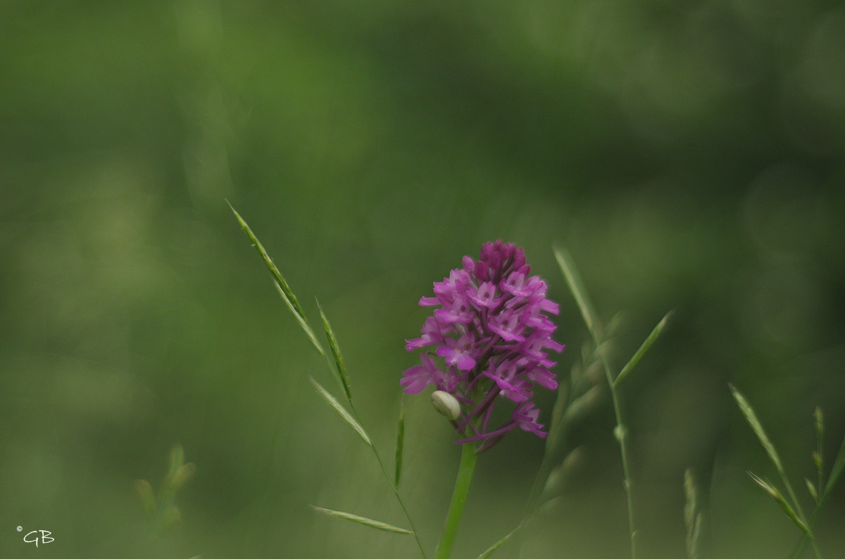 Photograph Anacamptis piramidalis by lapococa on 500px