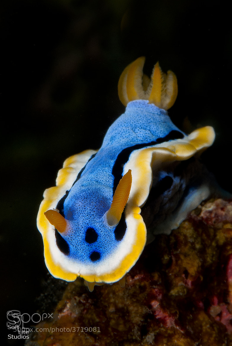 Photograph Foraging Nudibranch by Tim Neumann on 500px