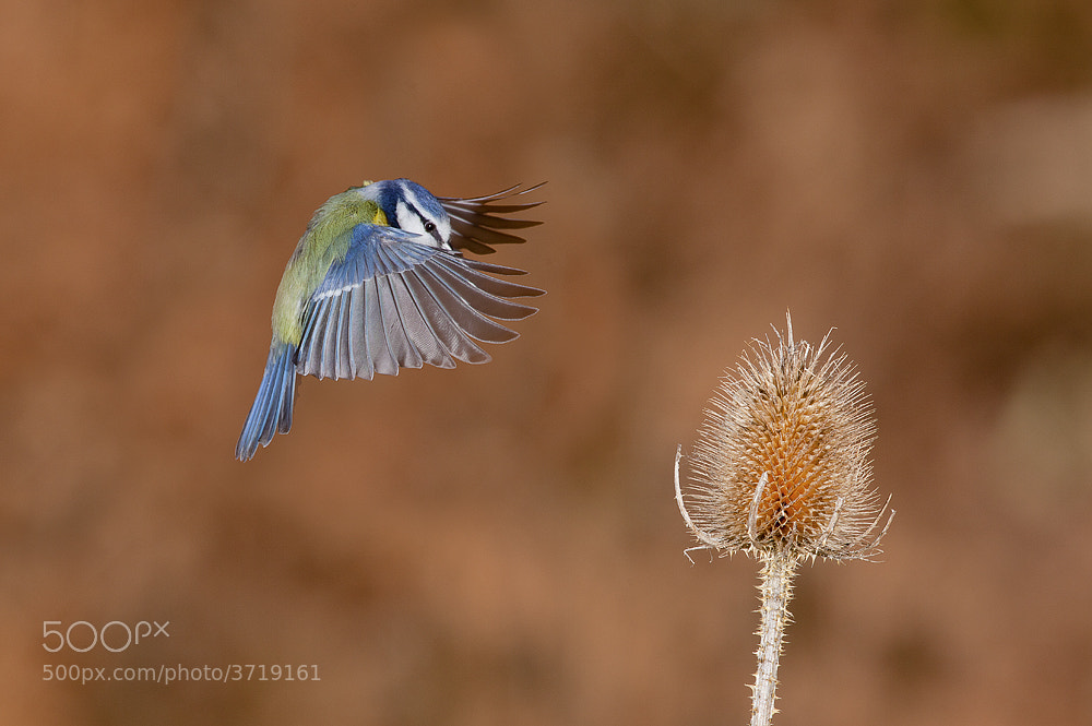 Photograph Blue Tit Flying to Teasel by Dale Sutton on 500px