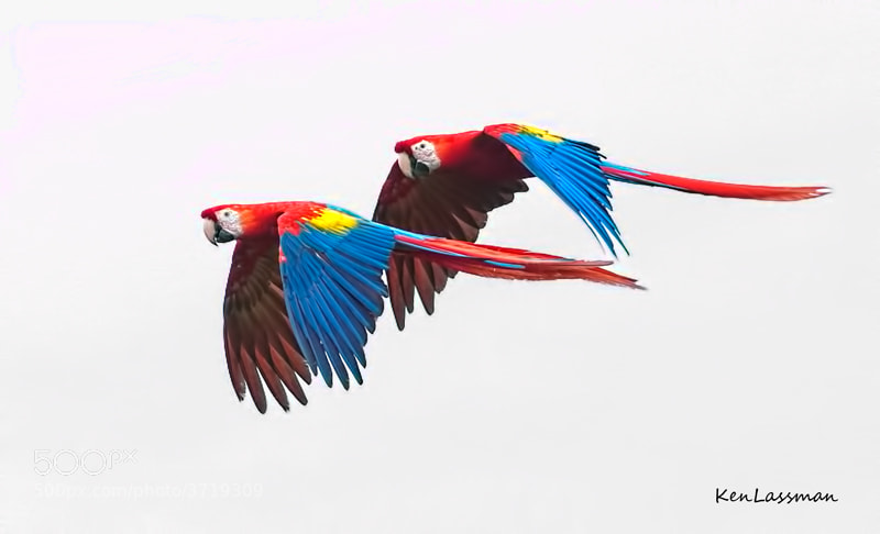 You can hear them coming before they are even in sight.  They are very loud, very large and very colorful.  Just seeing them in the wild was a thrill and most times not being close enough to get the picture