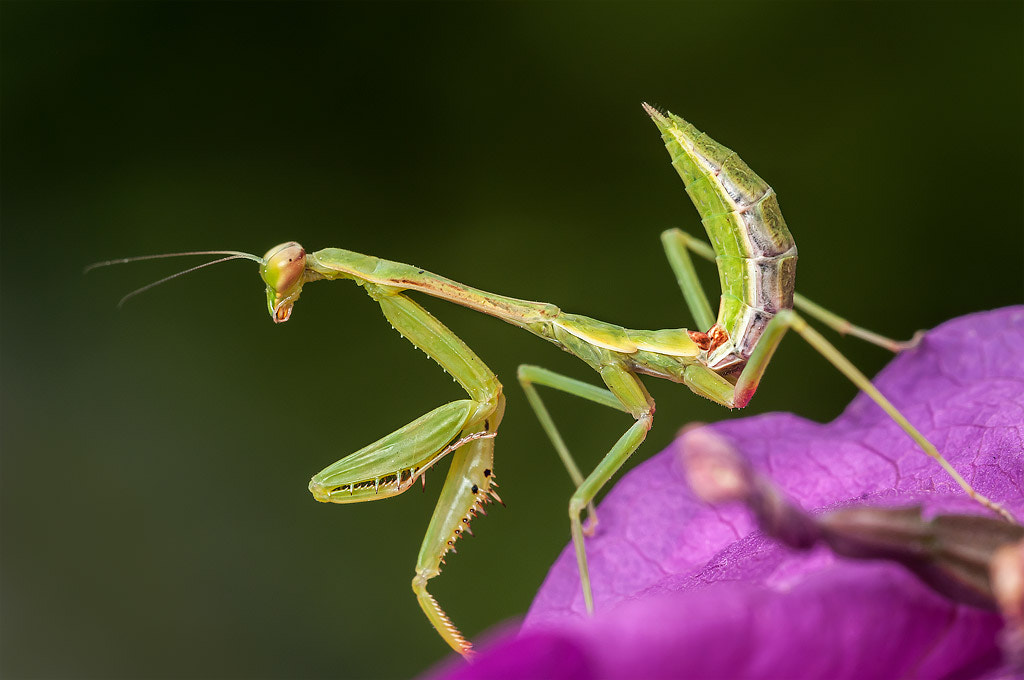 Photograph Mantis by Gerardo Barrera on 500px