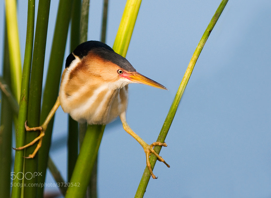 This is an image of a male least bittern.  They are much more colorful than the female and usually come to Southern Florida in the late spring to have their babies and then they leave until the following spring.  I had posted earlier a image of one of their babie.