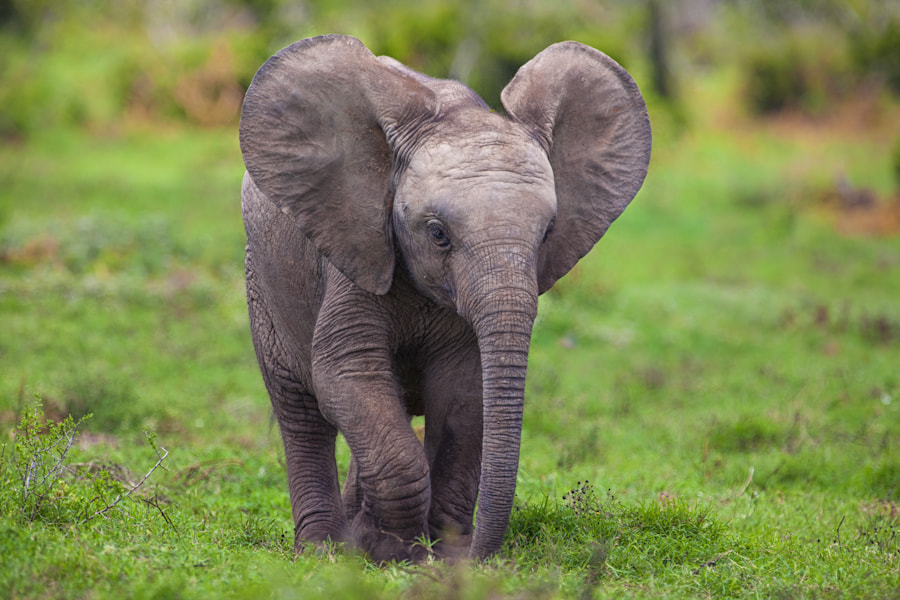 Baby Elephant walking on green grass