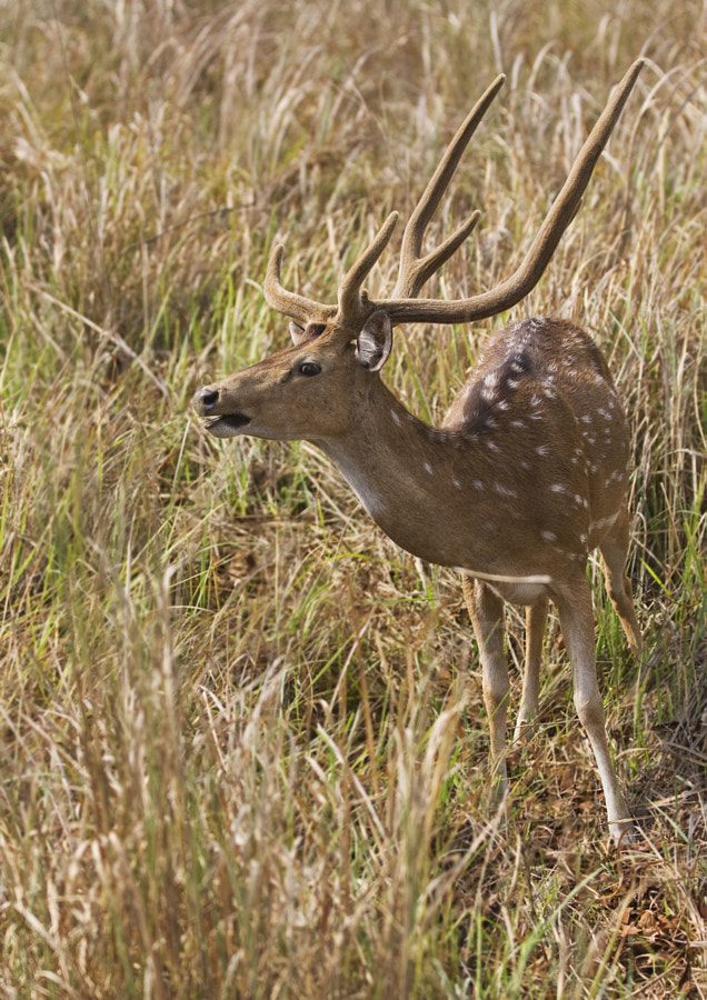 Male Chital in Kanha National Park, India