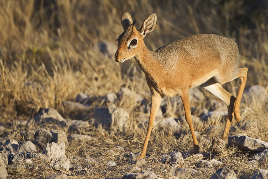 No prizes for guessing that this was taken on Dikdik Drive, in Etisha National Park, Namibia