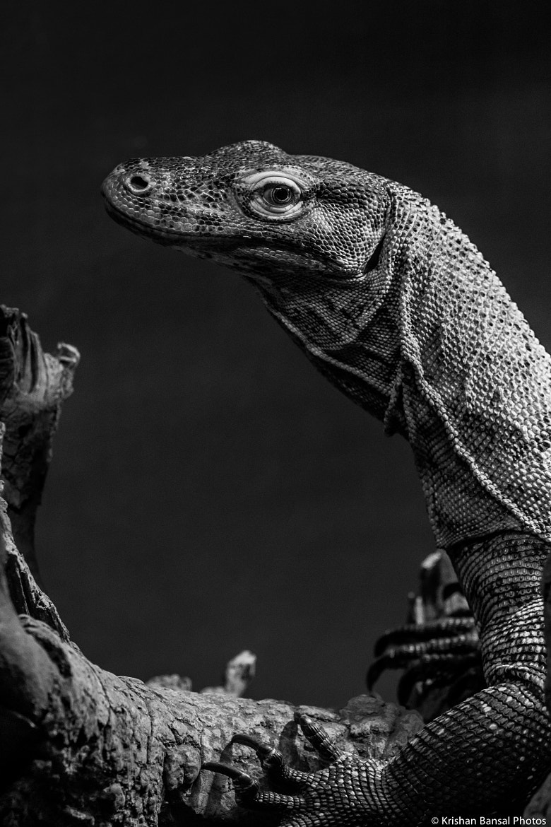 Photograph Royal Komodo by Krishan Bansal on 500px