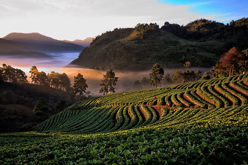 Photograph  Tea plantation. by nuttavut Sammongkol on 500px