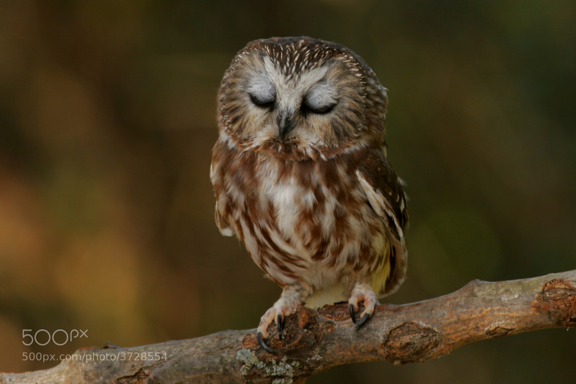 Photograph Sleepy Saw-whet Owl by Alex  Thomson on 500px