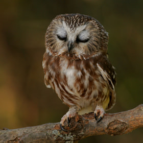 Sleepy Saw-whet Owl by Alex  Thomson (AlexThomson)) on 500px.com