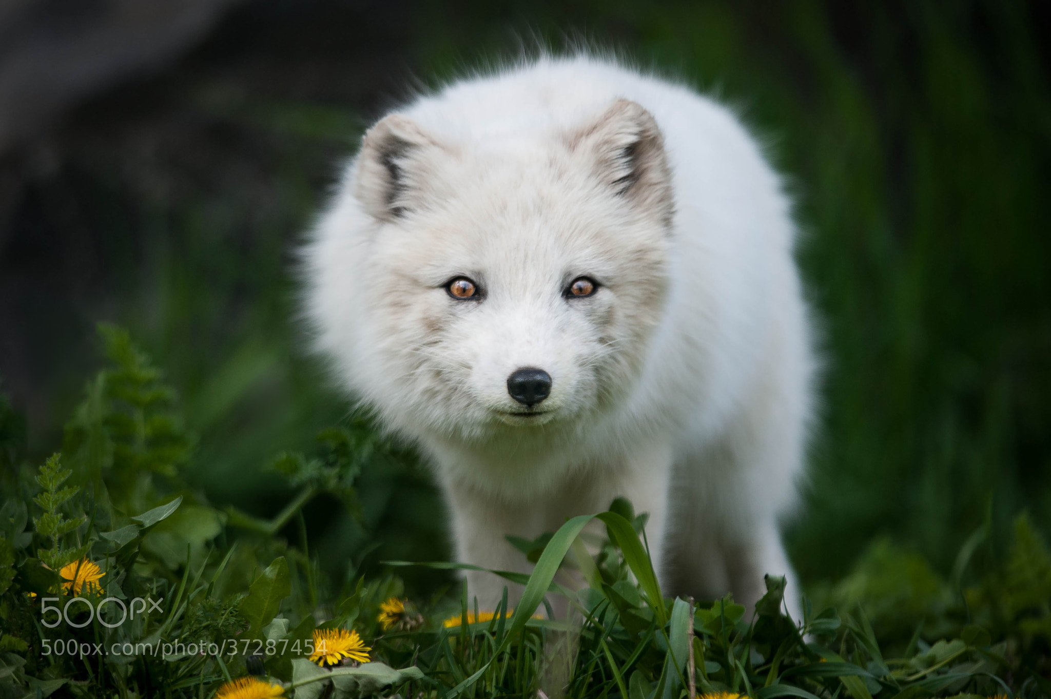 images of cute arctic fox related sc
