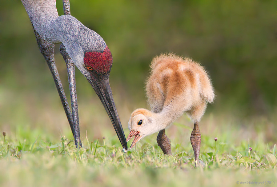 Photograph Sandhill Crane Feeding Its Chick by Axel Hildebrandt on 500px