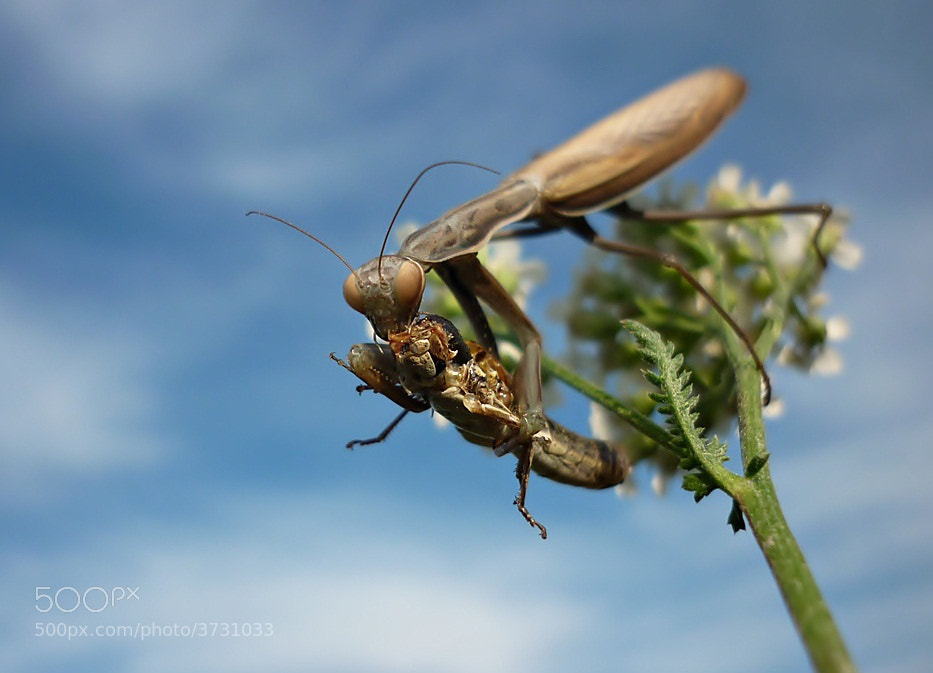 Photograph Praying Mantis Having Dinner by istvan froghunter on 500px