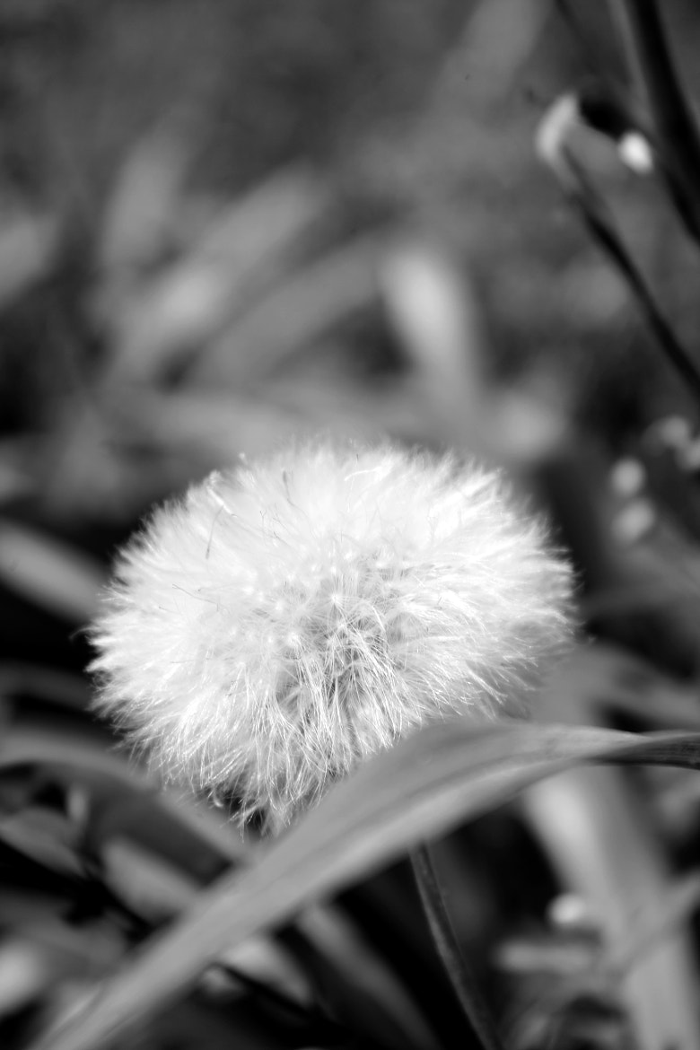 Photograph Dandelion by Juan Rodrigues on 500px