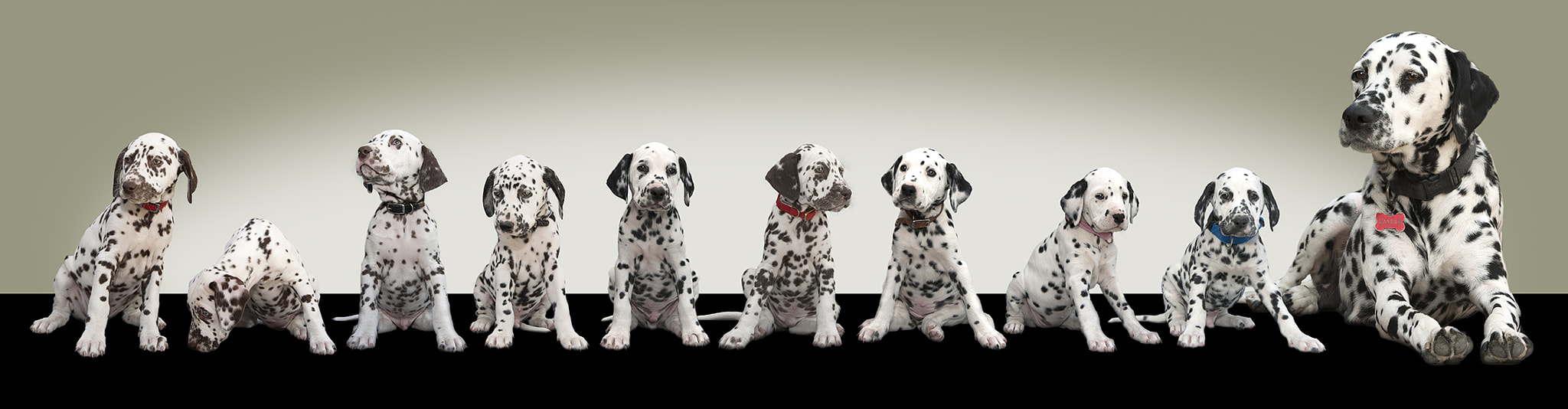 Photograph Dalmations by Neil Harsant on 500px