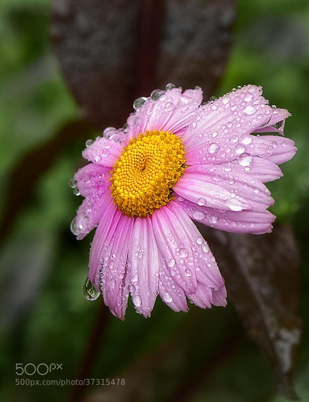 Photograph Rain Daisy by Ernesto Franklin on 500px