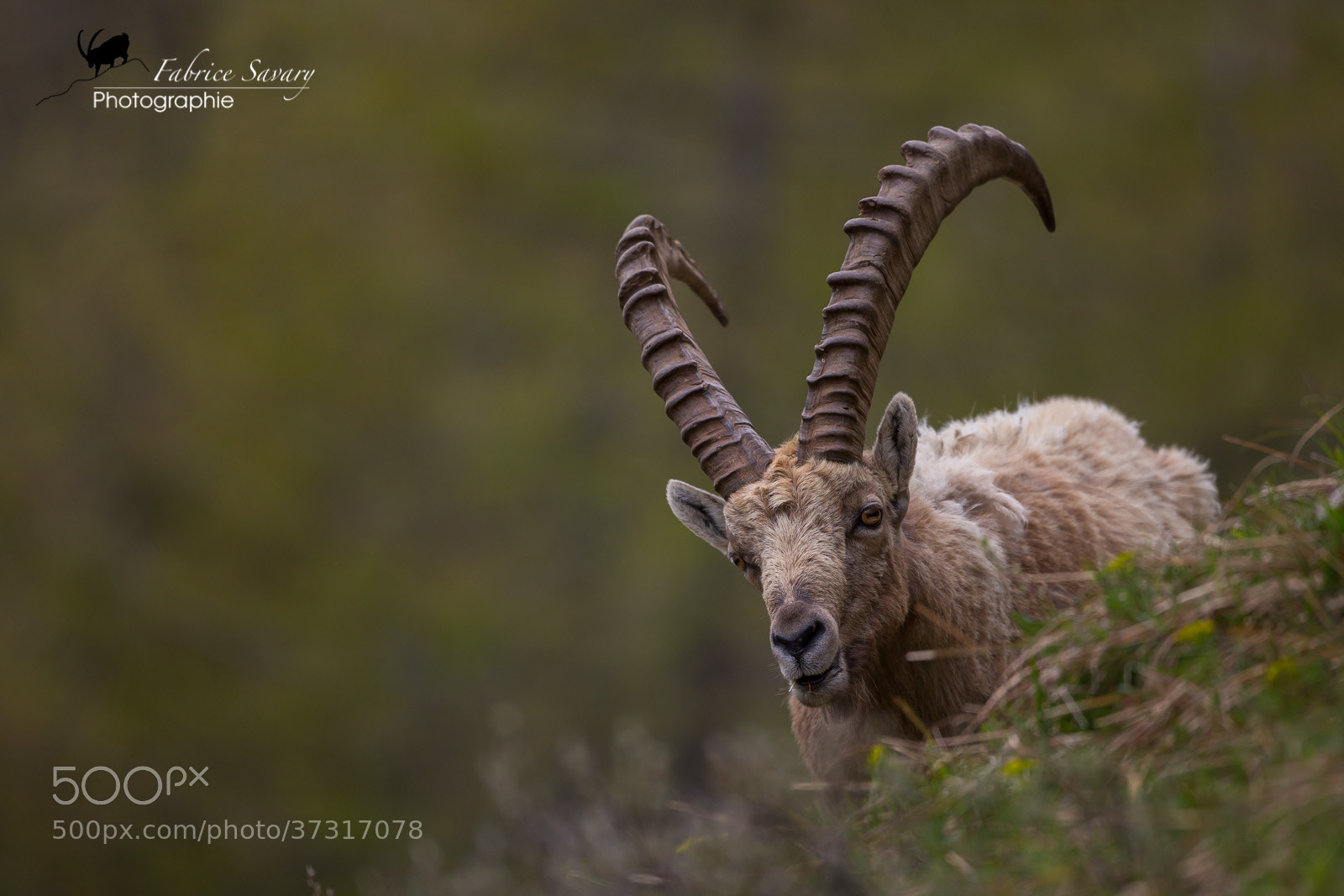 Photograph Ibex Bouquetins by Fabrice  Savary  on 500px