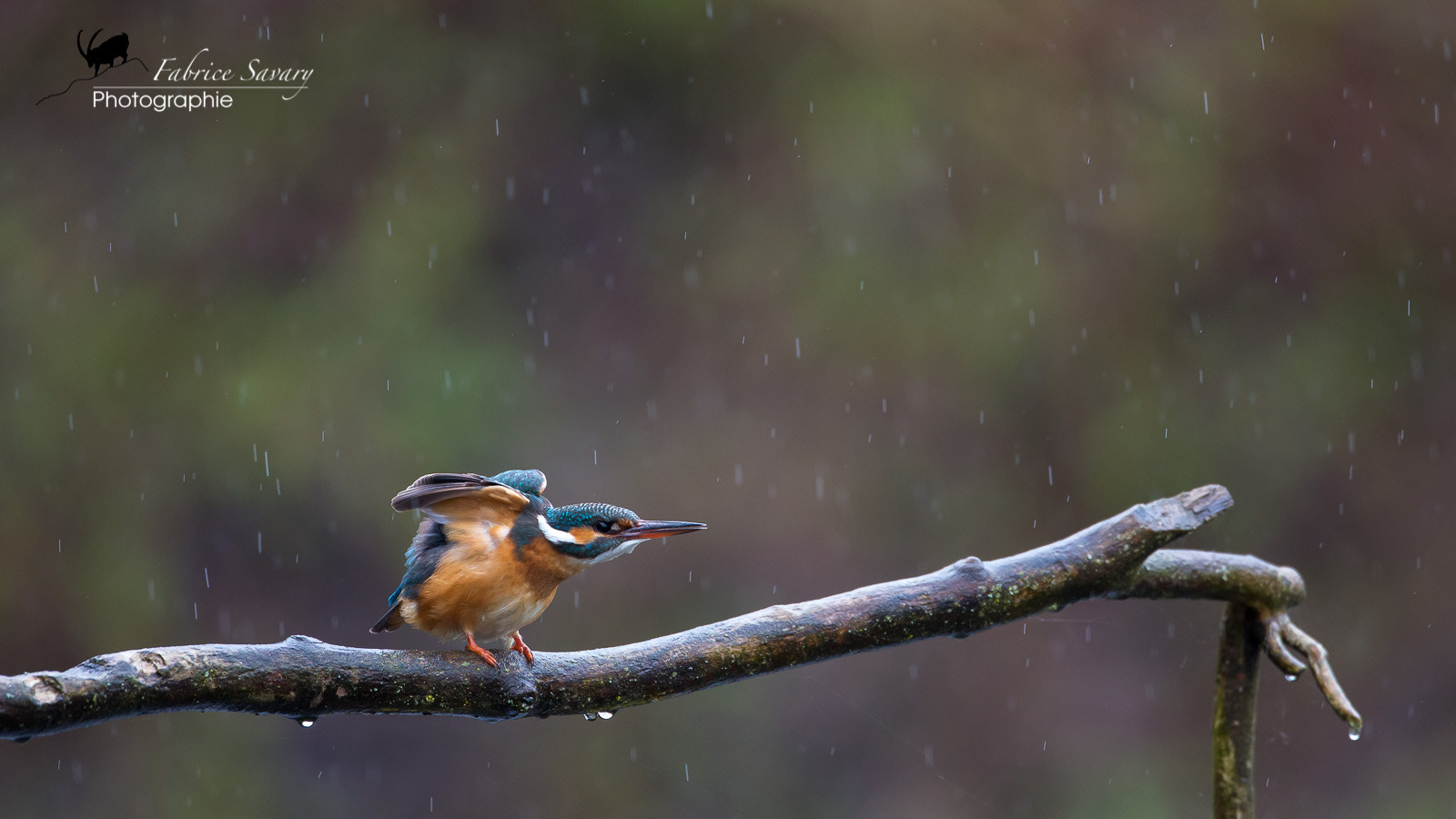 Photograph Martin pêcheur Kingfisher by Fabrice Savary  on 500px