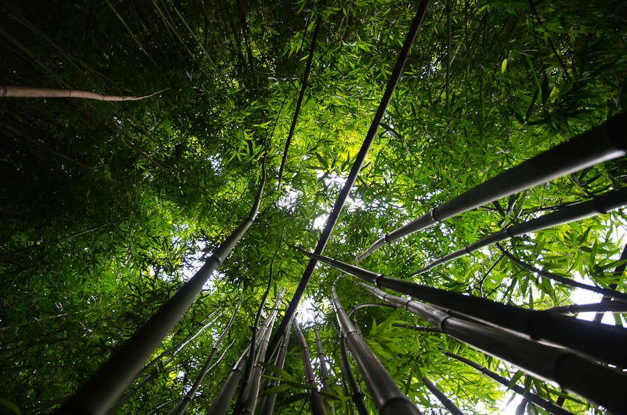 Photograph Tall Bamboo by Thomas Bishop on 500px