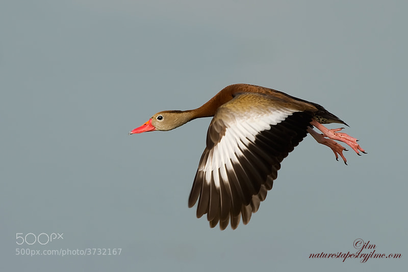 The image was taken just as the black bellied whistling duck was coming in for a landing.   The feet were poised ready to land.